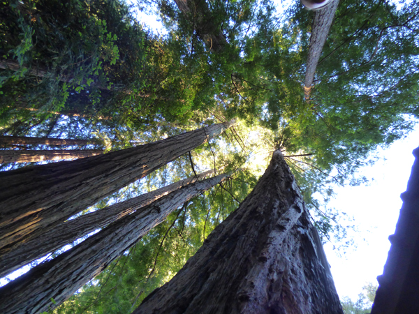 big-sur-redwoods