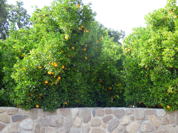 citrus-groves-ojai