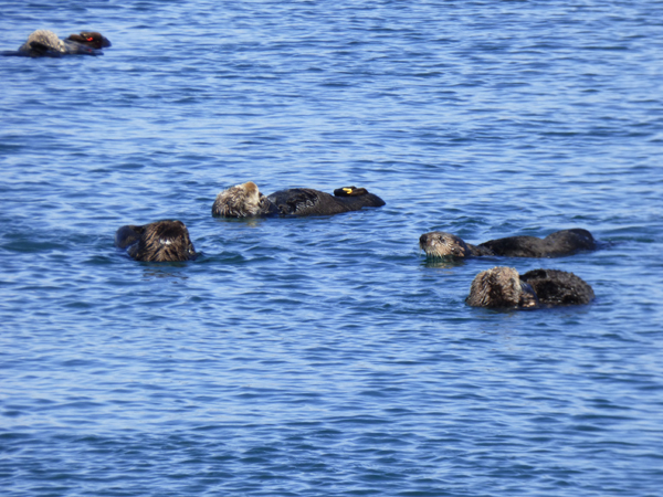 otters-in-morro-bay