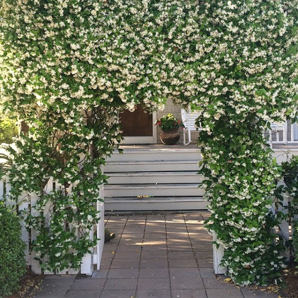 jasmine-covered-gate