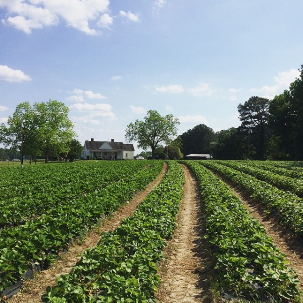 pick-your-own-strawberry-farm